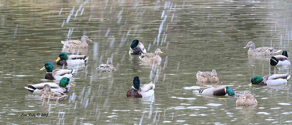 Mallards - 12/28/13 - Woods Valley Campground; 2013 Escondid CBC