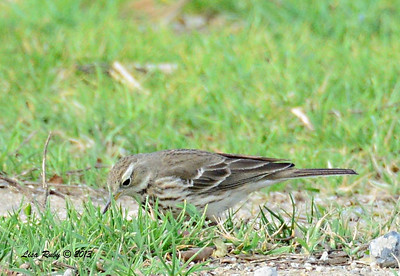 American Pipit - 12/28/13 - Bates Nut Farm; 2013 Escondido CBC