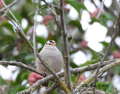 White-crowned Sparrow - 12/28/13 - Woods Valley Campground; 2013 Escondido CBC