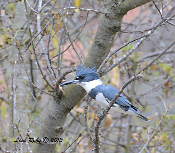 Belted Kingfisher - 12/28/13 - Woods Valley Campground; 2013 Escondido CBC
