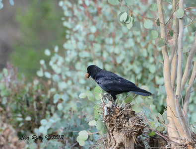 Crow - 12/28/13 - Woods Valley Campground; 2013 Escondido CBC