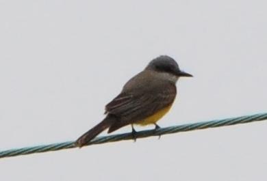 Tropical Kingbird - 10/13/13 - FRNC