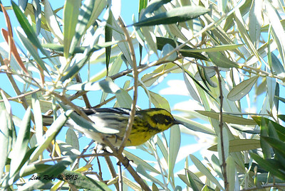 Townsend's Warbler - Greenwood Cemetary - 11/30/13