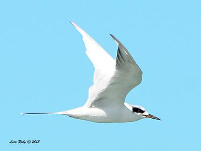 Forster's Tern - 10/6/13