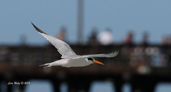 Elegant Tern - 10/6/13 - Imperial Beach