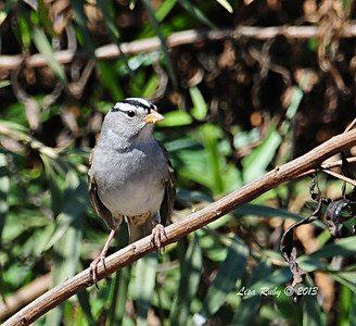 White-crowned Sparrow - 10/6/13