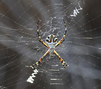 Argiope Argentata - Silver Garden Spider - 10/6/2013 - TRV Estuary
