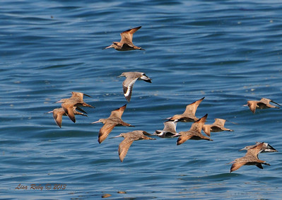 Marbled Godwits and Willets - 10/6/13
