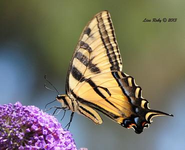 Western Tiger Swallowtal Butterfly