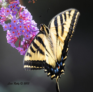 Western Tiger Swallowtail Butterful