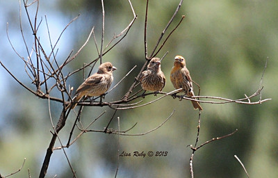 Cute little House Finch family. The one in the middle is the fledgling. It was begging from Dad, but I couldn't get a shot of it doing that.