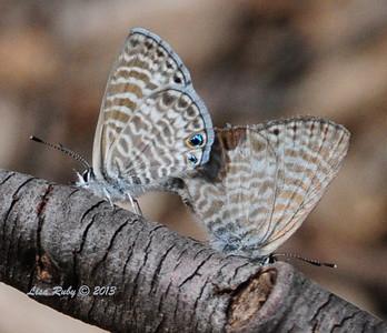 Marine Blue Butterflies