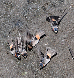 Cliff Swallows gathering mud for nest building at Lake Hodges.