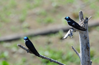 Pair of tree swallows at Lake Hodges. They were sitting together preening on this tree stump.