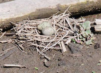 Black Necked Stilt eggs.