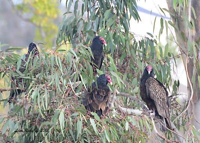Turkey Vultures - 12/21/13 - Lake Murray