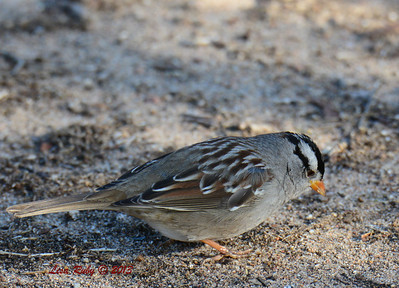 White-crowned Sparrow - 12/21/13 - Lake Murray