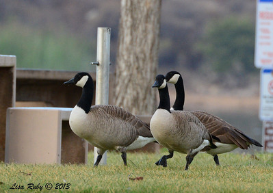 Canada Geese - 12/21/13 - Lake Murray