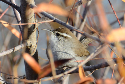 Bewick's Wren - 12/21/13 - Lake Murray