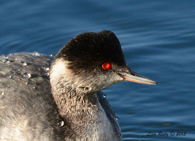 Eared Grebe - 12/21/13 - Lake Murray