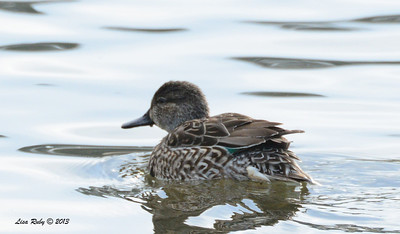 Female Green-winged Teal - 12/21/13 - Lake Murray