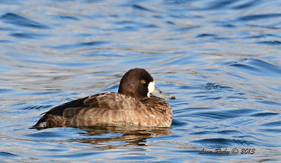 Female Lesser Scaup - 12/21/13 - Lake Murray