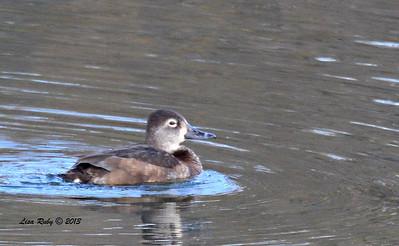 Female Ring-necked Duck - 12/21/13 - Lake Murray