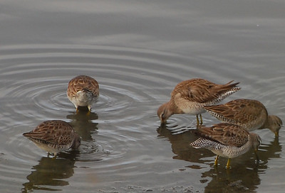 Long/short-billed Dowitchers  - 12/23/2012 - Robb Field