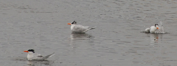 Royal Terns  - 12/23/2012 - Robb Field