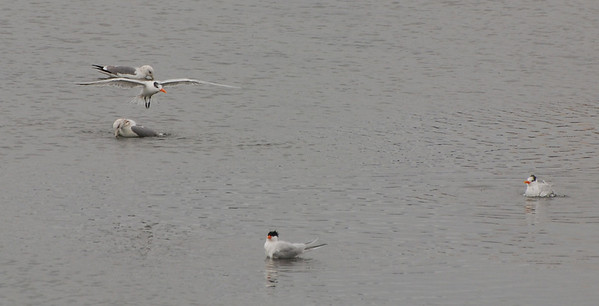 California Gulls and Royal Terns  - 12/23/2012 - Robb Field