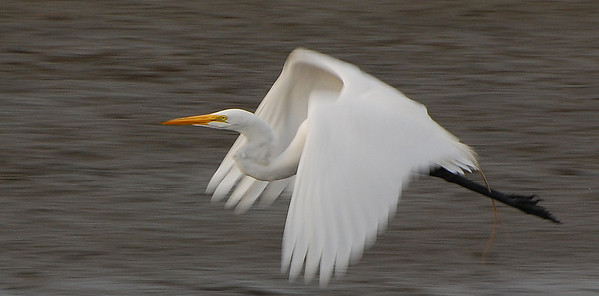 Great Egret  - 12/23/2012 - Robb Field