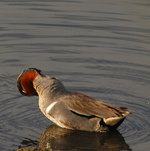 Green-winged Teal  - 12/23/2012 - Robb Field