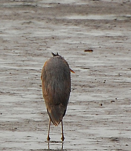 Great Blue Heron  - 12/23/2012 - Robb Field