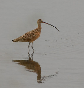 Long-billed Curlew  - 12/23/2012 - Robb Field
