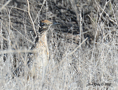 Greater Roadrunner - 12/30/13 - San Pasqual Valley Trail