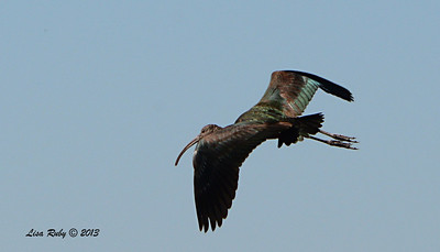 White-faced Ibis - 12/30/13 - Old Milky Way