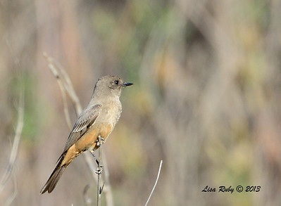 Say's Phoebe - 12/30/13 - San Pasqual Valley Trail