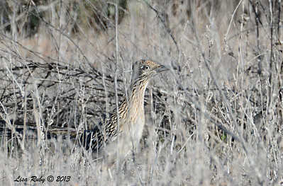 Greater Roadrunner - 12/30/13 - San Pasqual  Valley Trail Parking area