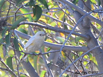 Leucistic Yellow-rumped Warbler - 12/30/13 - Bandy Canyon Road