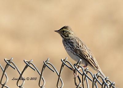 Savannah Sparrow - 12/30/13 - Old Milky Way