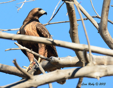 Red-Tailed Hawk Intermediate Morph - 12/30/13 - San Pasqual Valley Trail