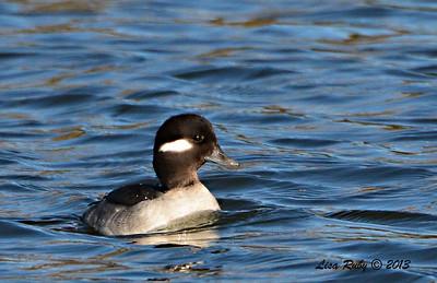 Female Bufflehead - 12/23/13 Santee Lakes