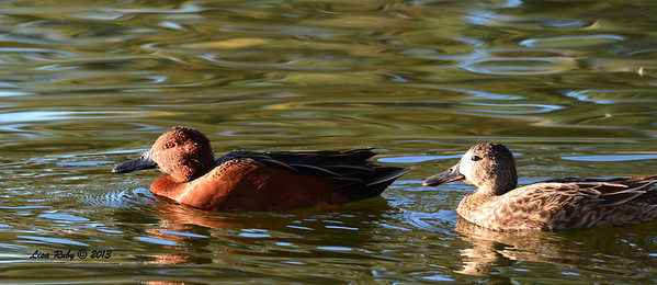 Cinnamon Teals male and female - 12/23/13 - Santee Lakes