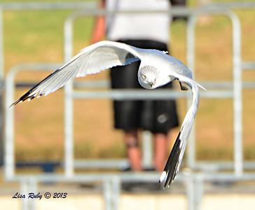 Ring-billed Gull - 12/23/13 - Santee Lakes