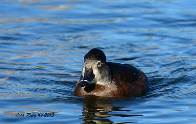 Female Ring-necked Duck - 12/23/13 - Santee Lakes
