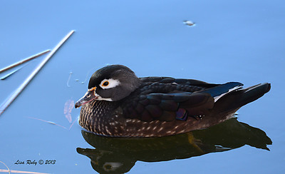 Female Wood Duck - 12/23/13 - Santee Lakes