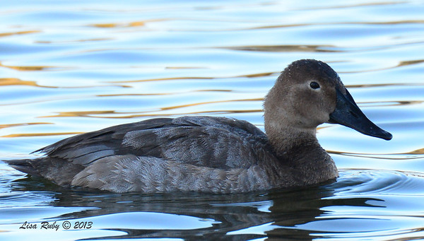 Female Canvasback - 12/23/13 - Santee Lakes