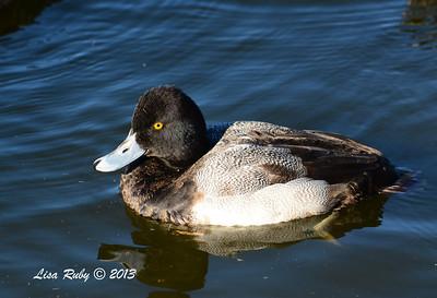 Lesser Scaup - 12/23/13 - Santee Lakes