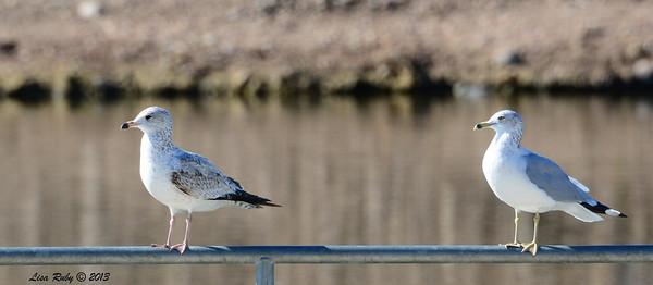 Juvenile (left) and adult Ring-billed Gulls - 12/23/13 - Santee Lakes