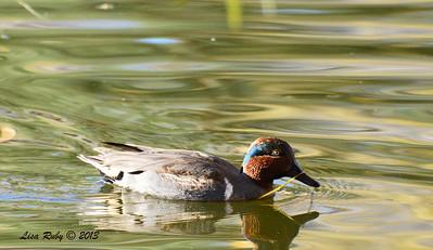 Green-winged Teal - 12/23/13 - Santee Lakes